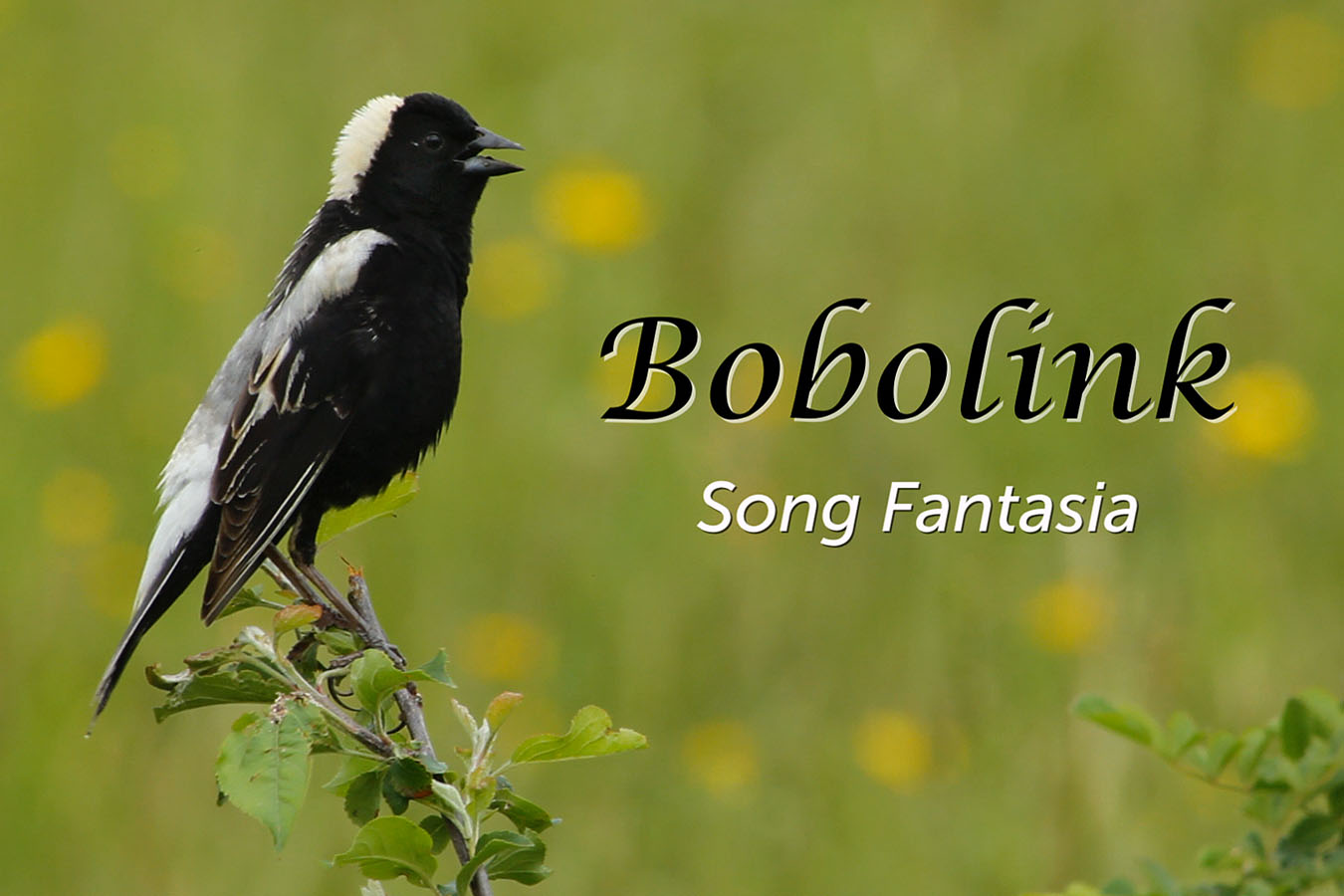 Bobolink - featured image © Lang Elliott