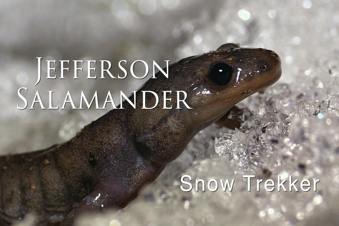 Jefferson Salamander - featured image © Lang Elliott