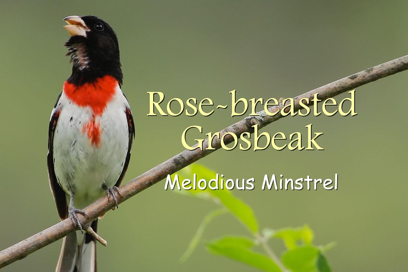 Rose-breasted Grosbeak - featured image © Lang Elliott