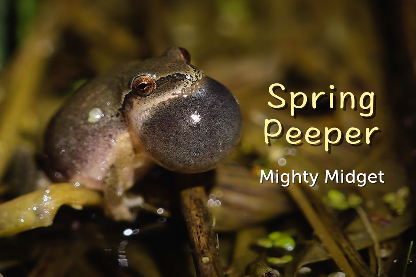 Spring Peeper - featured image © Lang Elliott