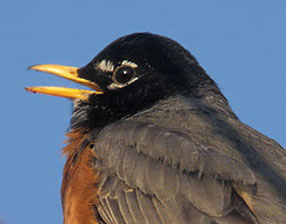 American Robin - singing closeup © Lang Elliott