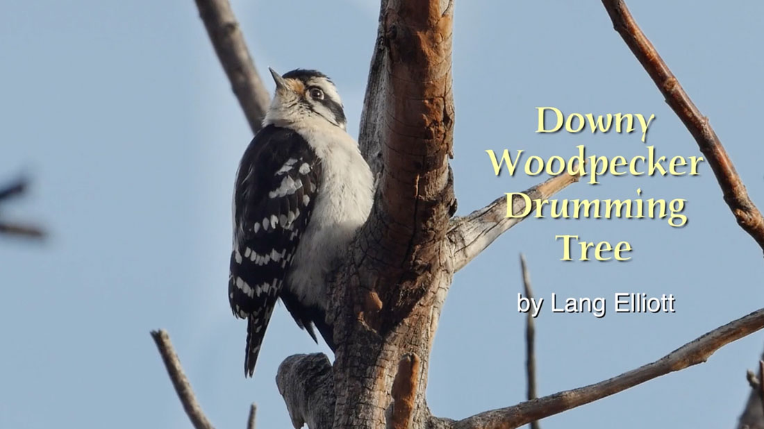 Downy Woodpecker Drumming Tree