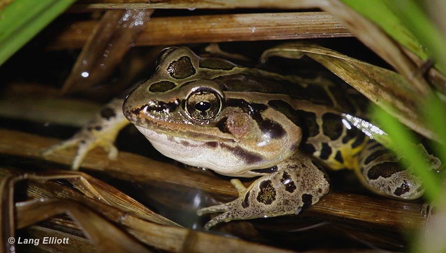 Pickerel Frog Snoring - featured image