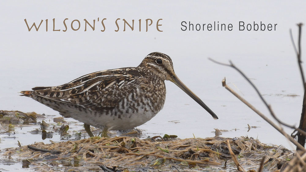 Wilson's Snipe – Shoreline Bobber