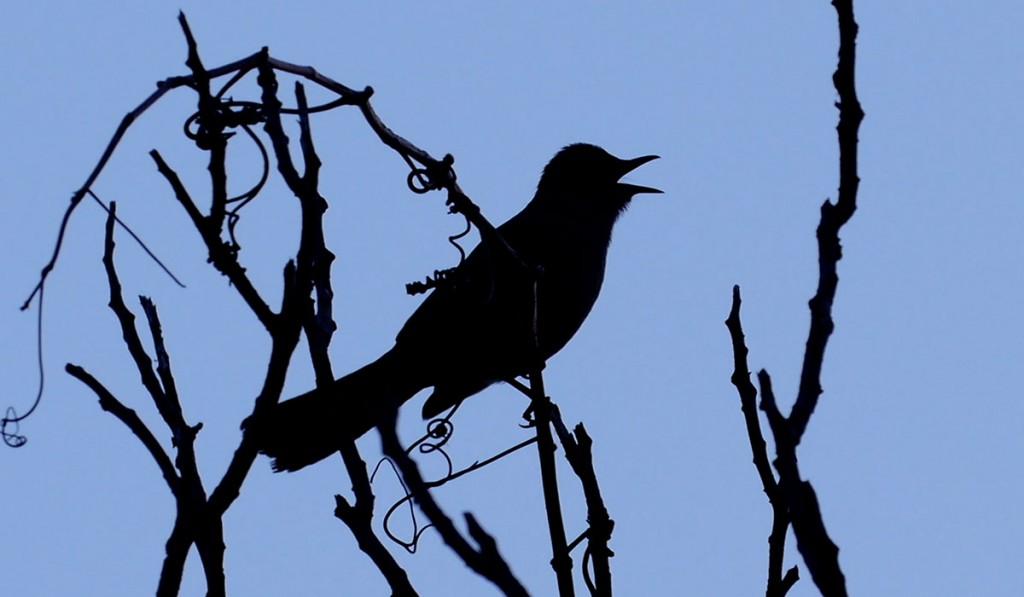 Gray Catbird - Silhouette Song by Lang Elliott
