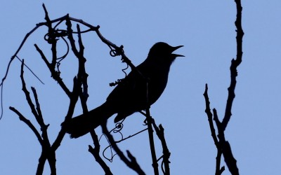 Gray Catbird – Silhouette Song