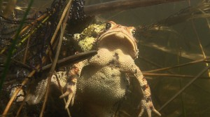 American Toad - Mating Frenzy featured image © Lang Elliott