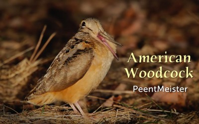 American Woodcock – PeentMeister