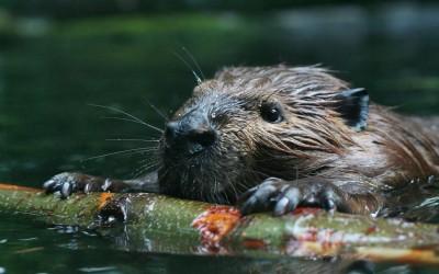 Beaver Moanings