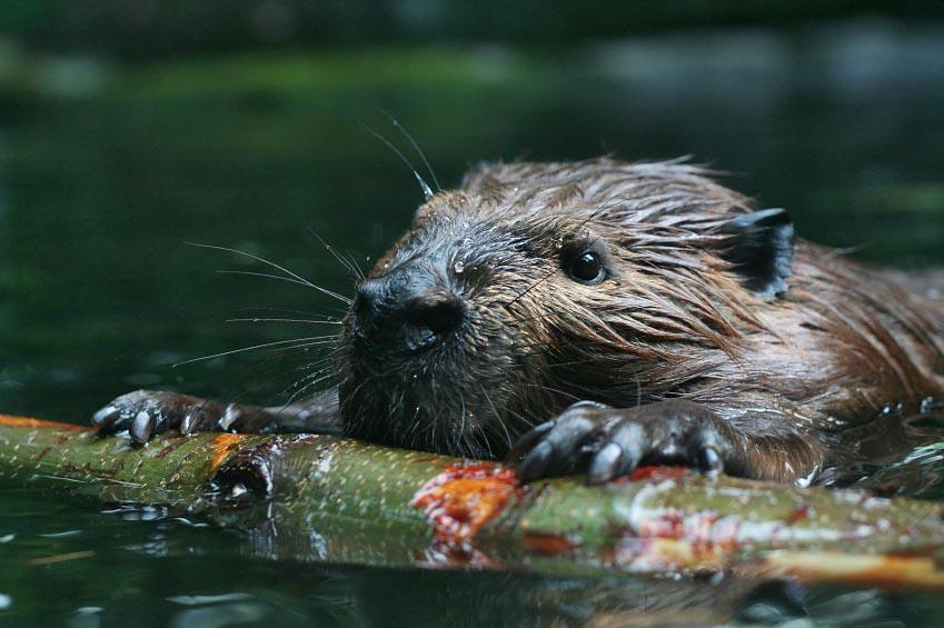 American Beaver - shutterstock