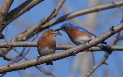 Bluebird Courtship Feeding