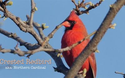 Crested Redbird