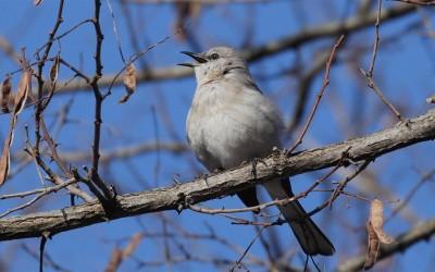 Mockingbird Songster
