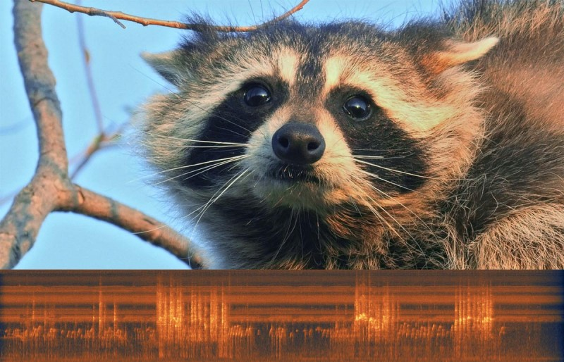 Raccoon Fight Music Of Nature