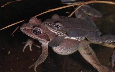 Wood Frog Cacklefest