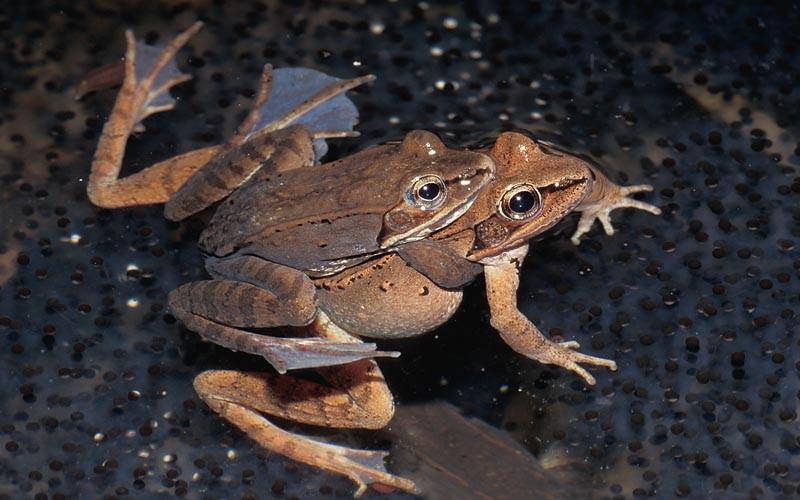 Wood Frog © Lang Elliott