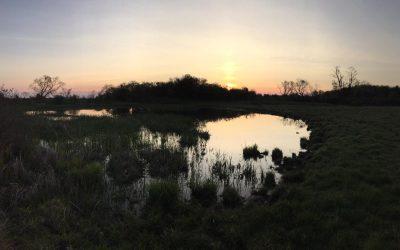 Toads at Dawn