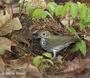 Ovenbird nest © Marie Read