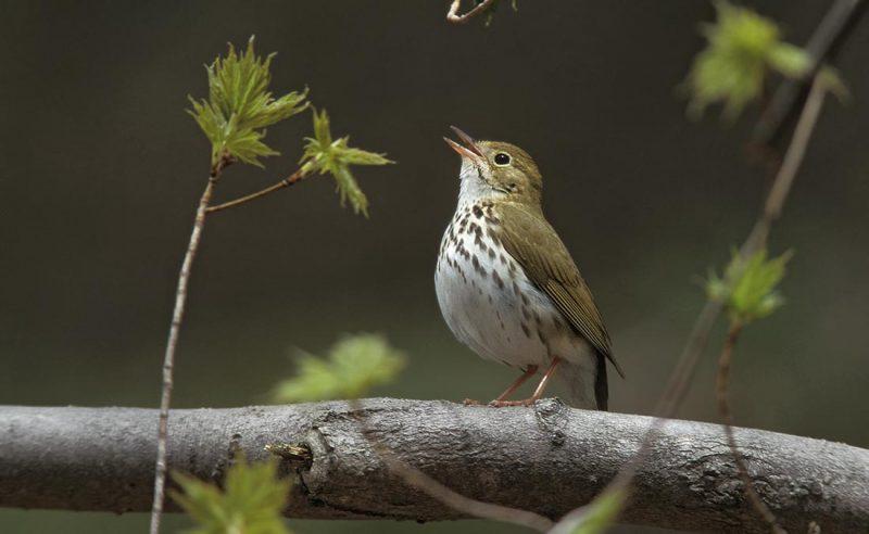 Ovenbird © Lang Elliott