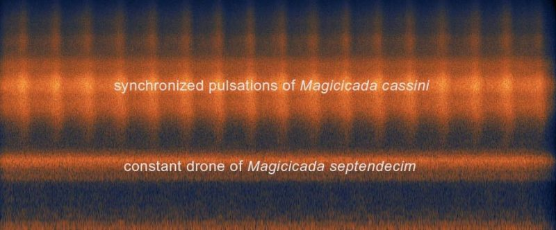 sonogram showing Magicicada cassini pulsations