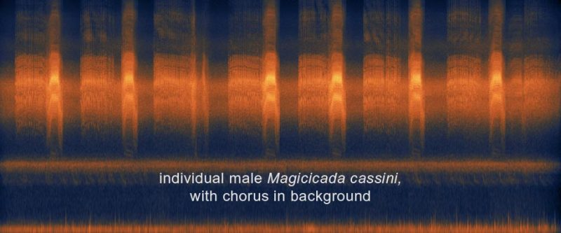 sonogram showing calls of individual male Magicicada cassini