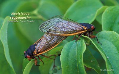 Periodical Cicadas – Brood V