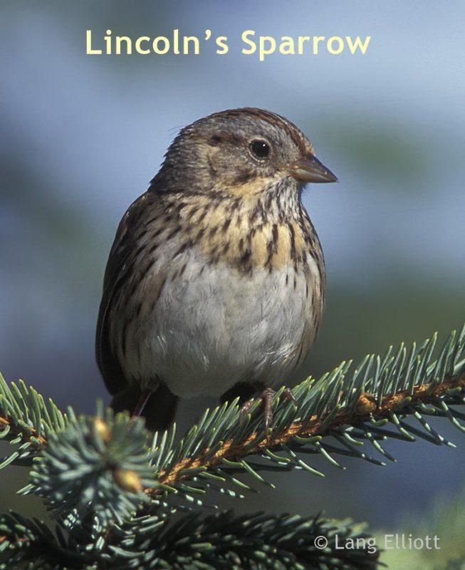 Lincoln's Sparrow © Lang Elliott