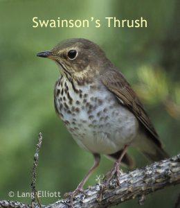 swainson's thrush photo © Lang Elliott