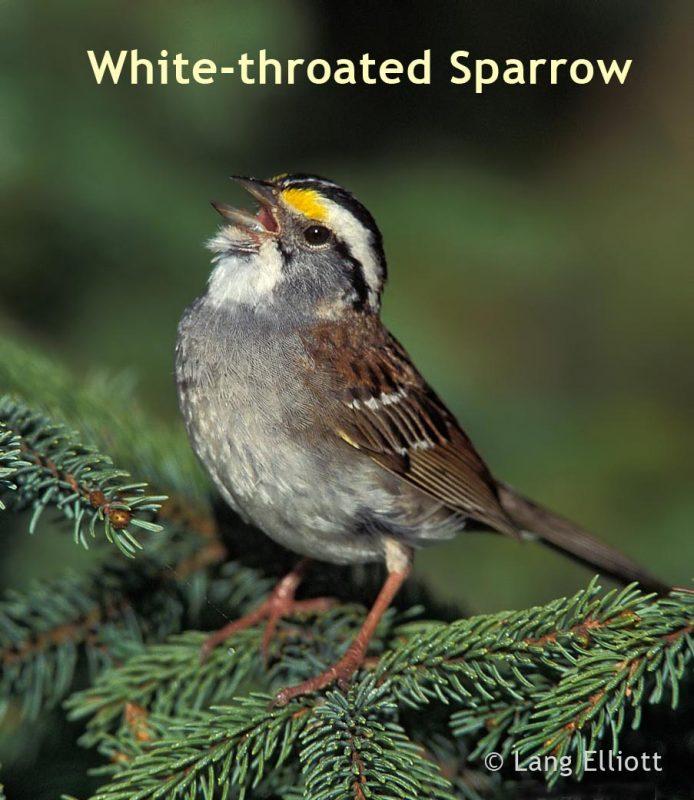 White-throated Sparrow © Lang Elliott