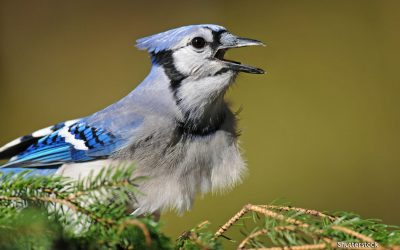 Autumn Jays (and more)