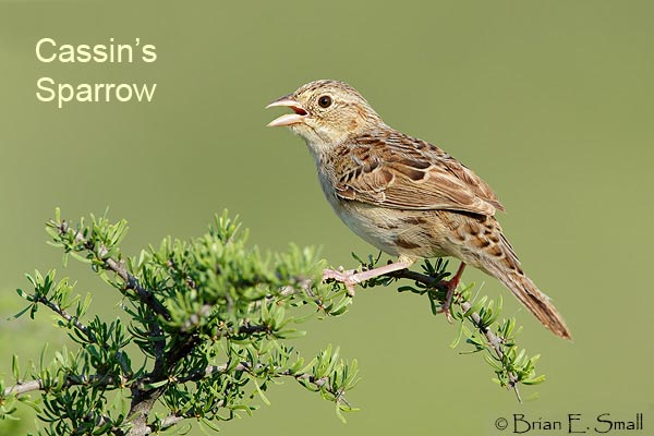 Cassin's Sparrow by Brian Small