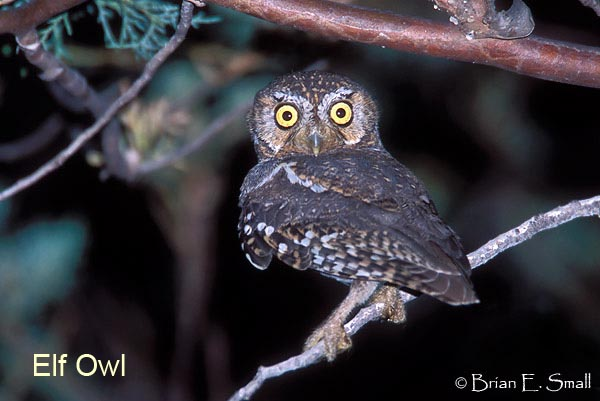 Elf Owl by Brian Small