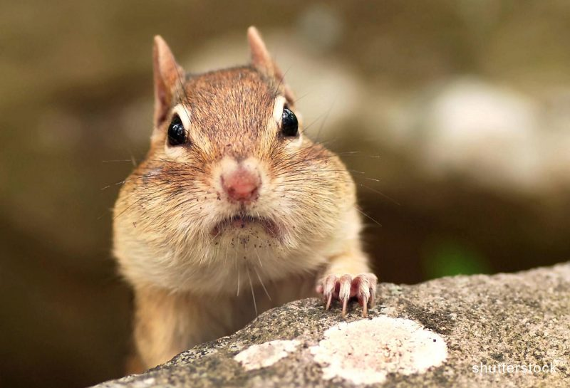 Eastern Chipmunk with pouches full