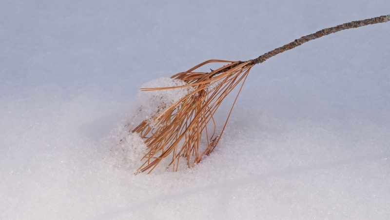 White Pine stem with brown needles in snow © Lang Elliott