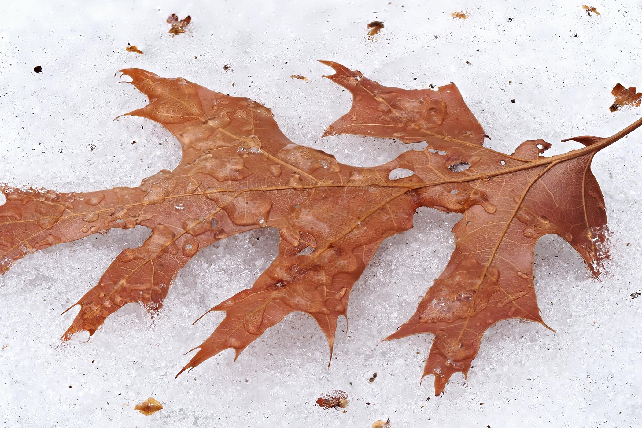 Red Oak leaf on snow, covered with raindrops. Lang Elliott.