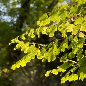 Maidenhair Fern in the Grotto at Lost Maples State Natural Area © Lang Elliott