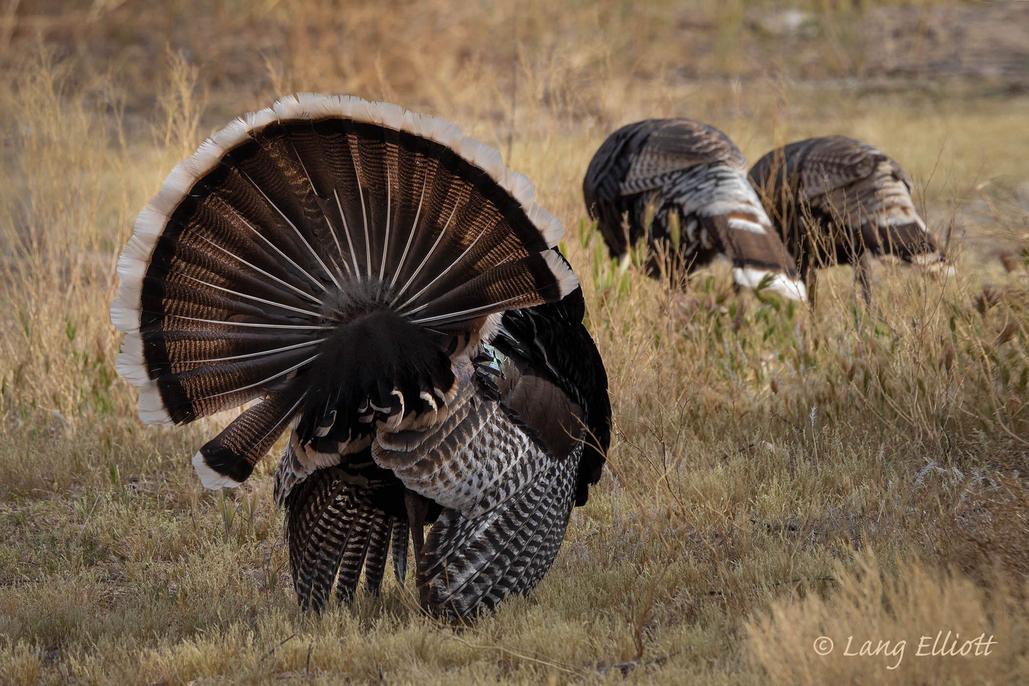 Gould's Wild Turkey - male in full display with two females in the background. © Lang Elliott