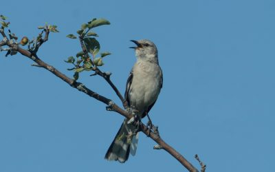 Mockingbird Song Bout
