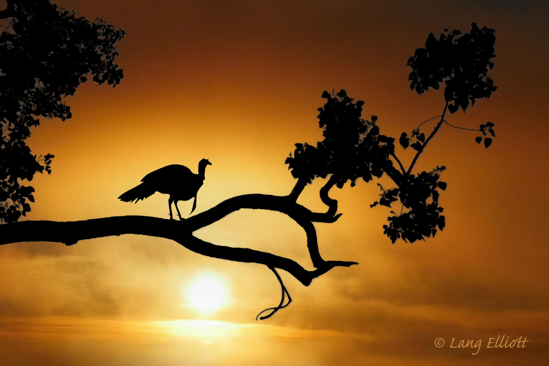 Art portray of wild turkey at dawn, perched in a cottonwood tree. © Lang Elliott