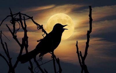 Catbird Night Song Reborn