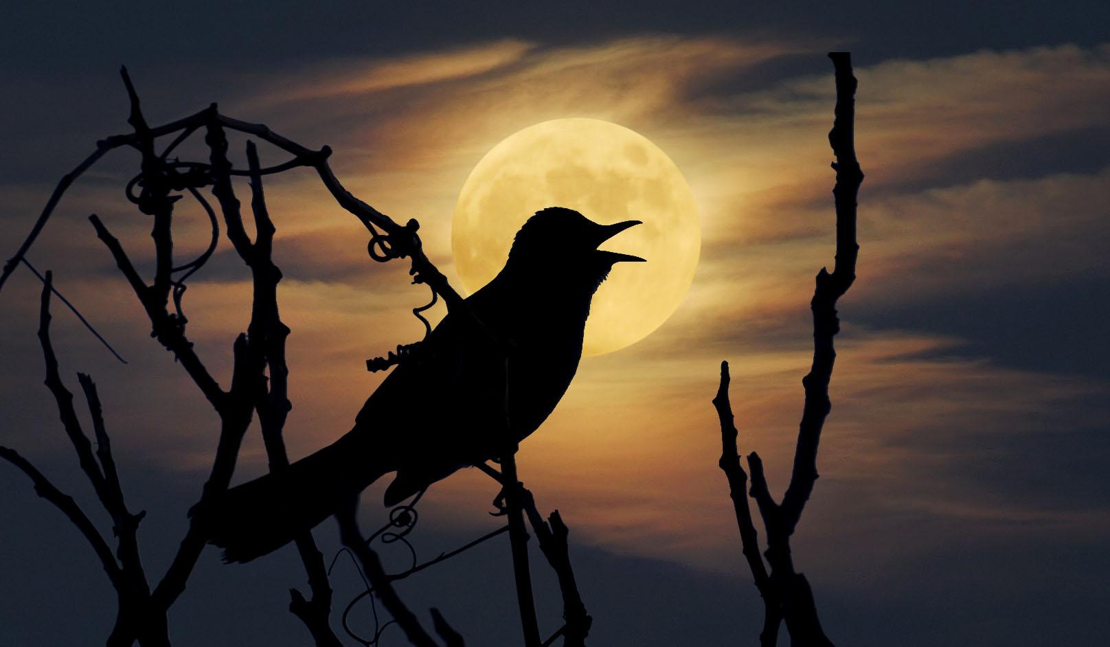 Gray Catbird silhouette and moon overlay © Lang Elliott